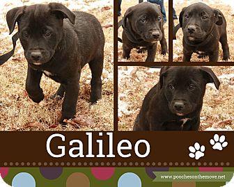 Labrador Retriever/Boxer Mix Puppy for adoption in Foster, Rhode Island - Galileo (POM-EC)