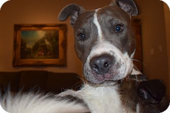 Boxer/American Bulldog Mix Dog for adoption in MILWAUKEE, Wisconsin - ROSCO