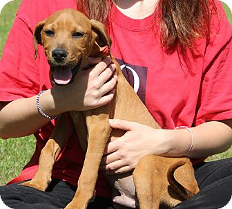 Redbone Coonhound Mix Puppy for adoption in Stamford, Connecticut - GEORGE - fostered in CT