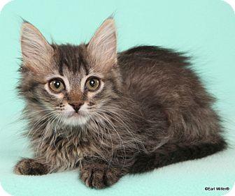 Domestic Longhair Cat for adoption in Las Vegas, Nevada - Flicka