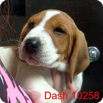 Basset Hound/Boxer Mix Puppy for adoption in Manassas, Virginia - Dash