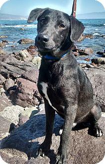 Labrador Retriever Mix Dog for adoption in Poway, California - TOMMY
