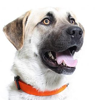 Anatolian Shepherd/Great Pyrenees Mix Dog for adoption in Truckee, California - Grace