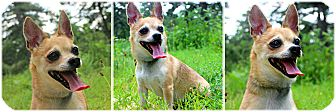 Chihuahua Dog for adoption in Forked River, New Jersey - Plato