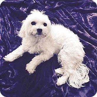 Maltese/Poodle (Miniature) Mix Dog for adoption in Covina, California - Coconut