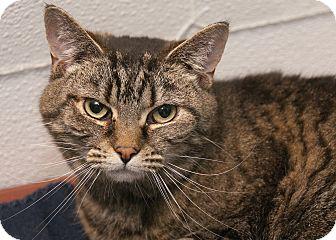 American Shorthair Cat for adoption in Waynesville, North Carolina - Kate