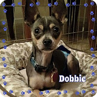 Chihuahua Mix Dog for adoption in Barriere, British Columbia - Dobbie - ADOPTION PENDING