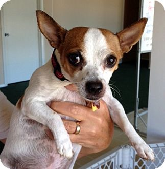 Chihuahua Mix Dog for adoption in Bloomington, Illinois - Chica