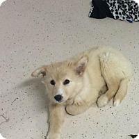 Adopt A Pet :: Sherbert # 1193 - Arlington Heights, IL