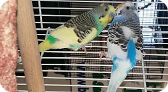 Budgie for adoption in Lenexa, Kansas - Violet