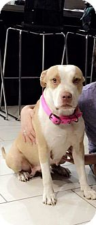 Pit Bull Terrier Mix Dog for adoption in Mesa, Arizona - Precious