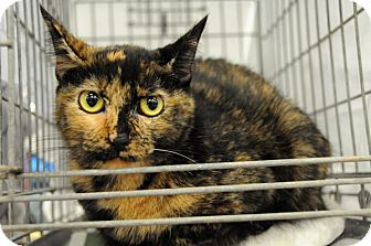 Manx Cat for adoption in Houston, Texas - Mika