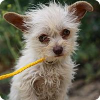 Adopt A Pet :: Niblet - Fillmore, CA
