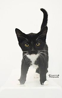 Domestic Shorthair Cat for adoption in Balto, Maryland - Steven
