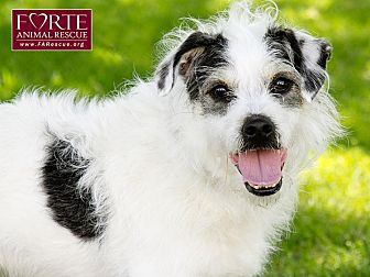 Jack Russell Terrier Mix Dog for adoption in Marina del Rey, California - Cookie