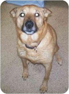 Shiba Inu/Whippet Mix Dog for adoption in Oak Ridge, New Jersey - Jessie-URGENT
