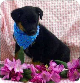 German Shepherd Dog/Cattle Dog Mix Puppy for adoption in Newland, North Carolina - Milton