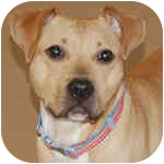 Pit Bull Terrier Mix Dog for adoption in Peoria, Illinois - Flora
