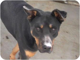 Rottweiler/Shepherd (Unknown Type) Mix Dog for adoption in Wichita, Kansas - Rocko