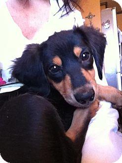 Dachshund Mix Puppy for adoption in Astoria, New York - Buddy