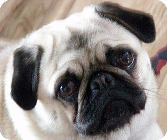 Pug Mix Dog for adoption in Toronto, Ontario - Daisy