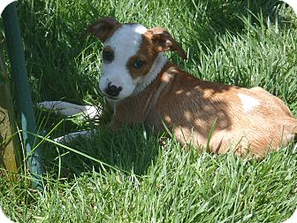 Hound (Unknown Type)/Beagle Mix Puppy for adoption in Tustin, California - Buttons