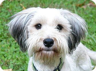 Wheaten Terrier/Schnauzer (Standard) Mix Dog for adoption in Mocksville, North Carolina - Mojag