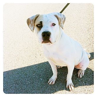American Bulldog Mix Dog for adoption in Louisville, Kentucky - Opal