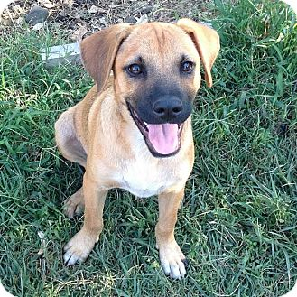 German Shepherd Dog/Labrador Retriever Mix Puppy for adoption in Torrance, California - SAMMY