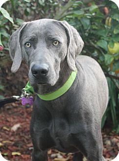 Weimaraner Dog for adoption in Rolling Hills Estates, California - Gunner