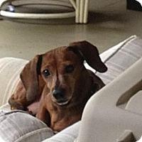 Adopt A Pet :: Canela - Killingworth, CT