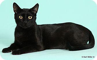 Domestic Shorthair Cat for adoption in Las Vegas, Nevada - Beatrice