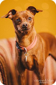 Miniature Pinscher Dog for adoption in Portland, Oregon - John