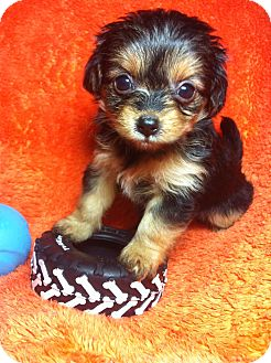Yorkie, Yorkshire Terrier/Lhasa Apso Mix Puppy for adoption in Warwick, Rhode Island - Wolfie