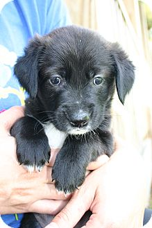 Golden Retriever Mix Puppy for adoption in Knoxville, Tennessee - Madison
