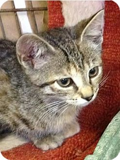 Domestic Shorthair Kitten for adoption in Albion, New York - Skootch