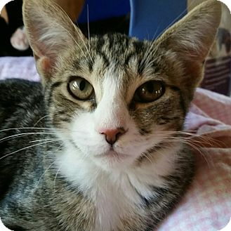 Domestic Shorthair Kitten for adoption in Mountain Center, California - Martini