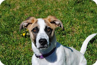 Pointer/Terrier (Unknown Type, Small) Mix Dog for adoption in Lafayette, New Jersey - Honey