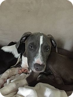 Labrador Retriever Mix Dog for adoption in Blue Bell, Pennsylvania - Yappy Hour Regulars