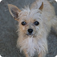 Adopt A Pet :: Grace - Norwalk, CT