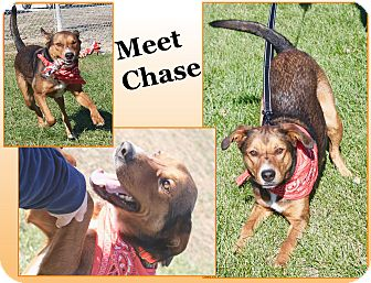 German Shepherd Dog Mix Dog for adoption in Cuba, Missouri - Chase