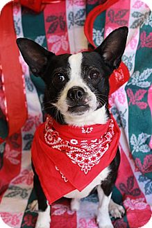 Boston Terrier Mix Dog for adoption in Palmyra, New Jersey - Zoomy