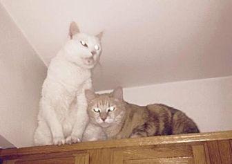 Siamese Cat for adoption in tucson, Arizona - Simon & Georgie
