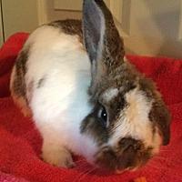 Adopt A Pet :: Harmony - Waynesboro, VA