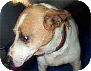 Fox Terrier (Smooth)/Jack Russell Terrier Mix Dog for adoption in Beacon, New York - Poncho