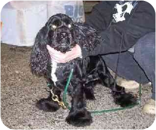 Cocker Spaniel Dog for adoption in Baltimore, Maryland - MidKnight