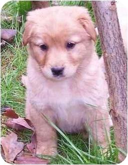 Golden Retriever/Labrador Retriever Mix Puppy for adoption in Cumming, Georgia - Annie