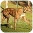 Photo 2 - Greyhound Dog for adoption in Santa Rosa, California - Fusion