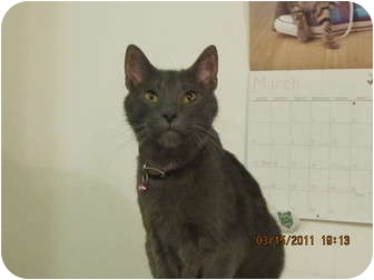 Russian Blue Cat for adoption in Los Angeles, California - Greyson