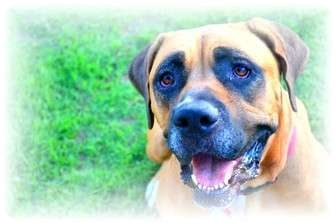 Boxer/Bullmastiff Mix Dog for adoption in Phoenix, Arizona - Abby